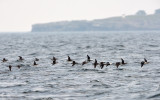 Alfåglar - Long-tailed Duck