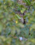 Sparvuggla (Glaucidium passerinum)