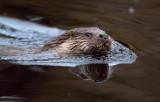 Utter - European Otter (Lutra lutra)