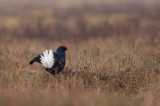 Orre - Black Grouse