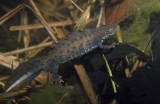 Större vattensalamander (Triturus cristatus)