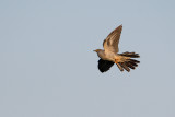 Gök (Cuculus canorus) - Common Cuckoo