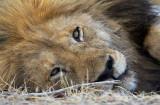 Lion, male