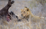 Lion, male with African Buffalo