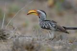Southern Yellow-billed Hornbill