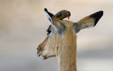 Impala & Red-billed Oxpecker