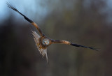 Glada (Milvus milvus) - Red Kite
