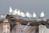 Gabbiani (Gulls)