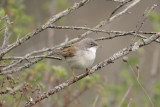 Sterpazzola (Whitethroat)