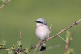 Averla Piccola (Red-backed Shrike)_006.jpg