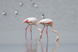 Fenicottero (Greater flamingo)_013.jpg