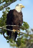 Bald Eagle_3192.jpg