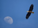 Eagle and Moon_1299.jpg