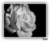 Monochrome Rose.