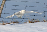 The Great Escape - Snowy Owl