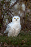 Where Did All the Snow Go To?  Snowy Owl