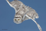 Nature's F-22 Stealth Raptor - The Snowy Owl