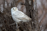 Snowy Owl - I Can't Seem To Blend In!