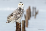 Snowy Owl - I Choose This Fence Post