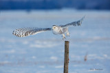 Snowy Owl - Sunset Departure
