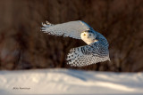 Snowy Owl - Night Moves