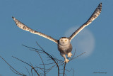 Snowy Owl - I see a bad moon rising. I see trouble on the way