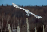 On The Picket Line - Snowy Owl
