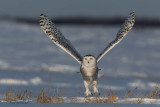 Sunset Super-Stretch - Snowy Owl