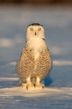 Snowy Owl - I Stand On Guard For Thee