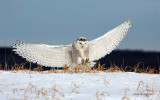 Snowy Owl - Two-Point Landing
