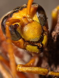 Wasp Closeup