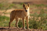 Young Dingo - Diamantina