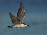 Whiskered Tern - Immature