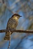 Shinning Bronze Cuckoo