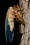 Cicada - Just Hatched