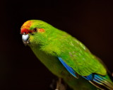 Kakariki - Red Crowned Parakeet - in captivity