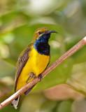 Sunbird - Male