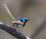 Variegated Fairy Wren - Male