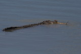 4½ Metre Saltwater Crocodile with Turtle