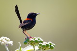 Red-backed Fairy Wren - Male