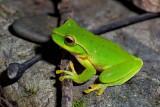 Green Stream Frog