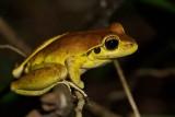 Wilcox's Frog