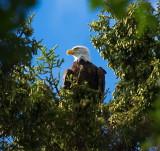 Eagle Hiding