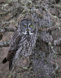 Great Grey Owl Camouflage