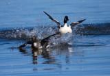 Duck Mating Season