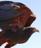 Harris Hawk Fly-By