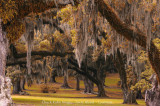 Moss Trees Louisiana