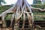 Banyan Tree Ta Prohm Temple Cambodia II
