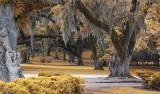 Moss  Trees Avery Island