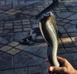 Snake Charmer Morocco